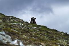 Muskox Ovibos moschatus standing on horizont in Greenland. Mighty wild beast. Big animals in the nature habitat, landscape with. Grass and snow in background royalty free stock photos