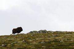 Muskox Ovibos moschatus standing on horizont in Greenland. Mighty wild beast. Big animals in the nature habitat. Arctic and landscape with grass, cloudy sky stock photography