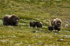 Muskox på berg i Norge Royaltyfri Fotografi