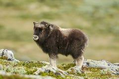 Muskox på karg tundra royaltyfri fotografi