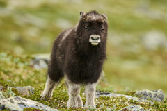 Muskox Stock Images