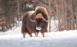 Muskox que camina en la nieve en invierno Imagenes de archivo