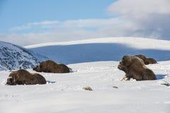 Muskox reposant Dovrefjell Norvège Photographie stock libre de droits