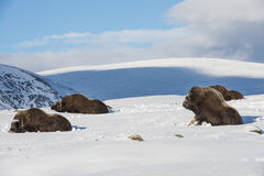 Muskox Sitting Dovrefjell Norway Royalty Free Stock Photography