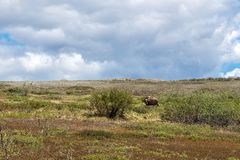 Muskox Tundra στοκ εικόνες με δικαίωμα ελεύθερης χρήσης