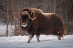 Free Muskox Walking In The Snow In Winter Stock Image - 85345321