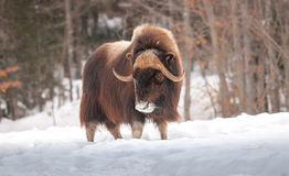 Muskox walking in the snow in winter. 1 Stock Images