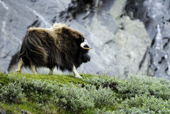 Muskox in wilderness. Muskox stood on grass in wilderness, rocks in background, Norway Royalty Free Stock Photos