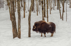 Muskox in the winter (Omega Park of Quebec) Stock Photography