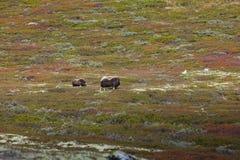 Muskoxe som betar i nationalpark i Norge Arkivbild