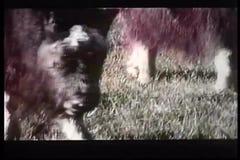 Muskoxen grazing in field stock video