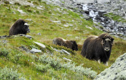 Muskoxen in platteland stock afbeelding