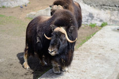 Muskoxen stock photo
