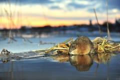 Muskrat σε ένα ηλιοβασίλεμα. στοκ εικόνες