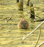 Muskrat. Sitting in a marsh royalty free stock image