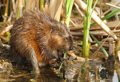 Muskrat Royalty Free Stock Image