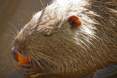 Muskrat Royalty Free Stock Photos