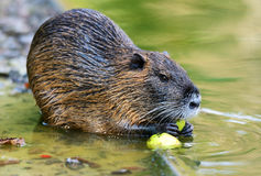 Muskrat. The muskrat (Ondatra zibethicus Stock Photography