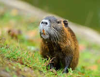 Muskrat. The muskrat on the river bank. (Ondatra zibethicus Royalty Free Stock Photography