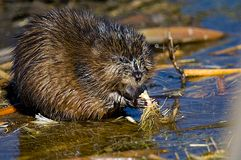 Muskrat Fotos de Stock