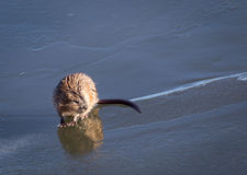 muskrat Foto de Stock Royalty Free