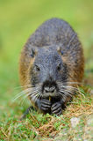The muskrat Stock Photography