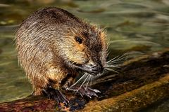 Muskrat, Beaver, Fauna, Mammal stock images