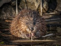 Muskrat, Beaver, Mammal, Fauna royalty free stock photos