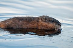 Muskrat close shot in the ice frost lake stock photo