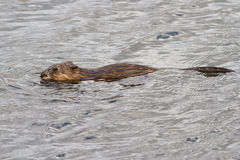 Muskrat die op het meer in de lente drijft Royalty-vrije Stock Afbeeldingen