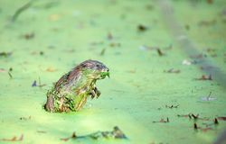 Muskrat in Duckweed 2. A muskrat draped in duckweed comes up for air Stock Photos
