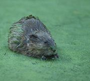 Muskrat in Duckweed. A muskrat sits on top of a pond coveredwith duckweed Stock Image