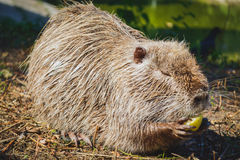 Muskrat eating an apple Stock Image
