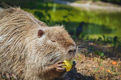 Muskrat eating an apple Stock Photography