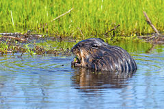 Muskrat Royalty Free Stock Photo