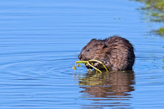 Muskrat. Eating inside the marsh Royalty Free Stock Images