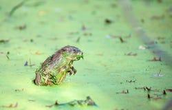 Muskrat en la lenteja de agua 2 Fotos de archivo