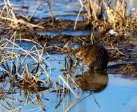Muskrat en un pantano en Quebec Canadá Imágenes de archivo libres de regalías