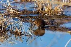 Muskrat en un pantano en Quebec Canadá Fotos de archivo libres de regalías