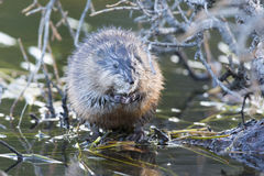 Muskrat facing front Royalty Free Stock Photo