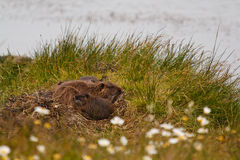 Muskrat family on island Royalty Free Stock Photos