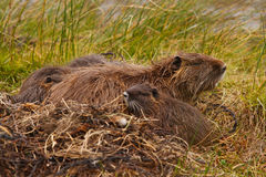 Muskrat family Stock Photo