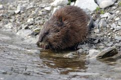 Muskrat Feeding Royalty Free Stock Image