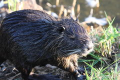 Muskrat feeding. A muskrat feeding on the banks of a nearby pond Stock Photos
