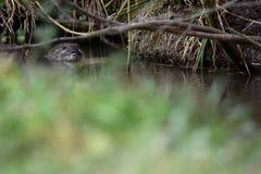 Muskrat in a field on the run. In Rhone-Alpes region (France Royalty Free Stock Image