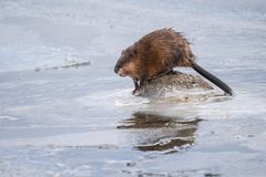 Muskrat Foraging In Frozen Lake royalty free stock photography