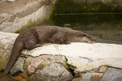 Muskrat got out of the water and lying on rock Stock Photo