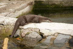 Muskrat got out of the water and lying on rock Royalty Free Stock Photography