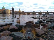 Muskrat in het water in Charles Bridge in Praag royalty-vrije stock fotografie