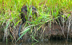 Muskrat Hiding in the Reeds Stock Images